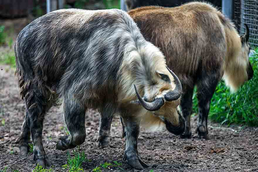 Animals in Takin Zoo